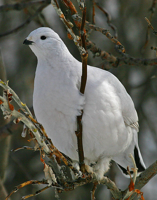 willow ptarmigan winter